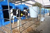 stock photo of dairy barn  - Calf on a dairy farm drinking water from a drinking bowls - JPG