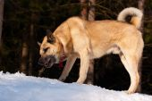 stock photo of laika  - West Siberian Laika with a stick in winter wood - JPG