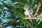 pic of fluffing  - A Shikra preening in a tree with his feathers fluffed out - JPG