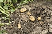 pic of loam  - potato harvest - potato in the loam with plant