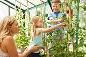 Mother And Children Harvesting Tomatoes In Greenhouse