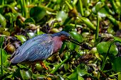 picture of crawfish  - A Perfect Shot of a Small Heron - JPG