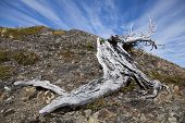 stock photo of pain-tree  - Twisted tree trunk at Torres del Paine Chile - JPG