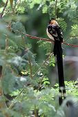 stock photo of mesquite  - A long tailed black bird resting in a branch of a mesquite tree - JPG