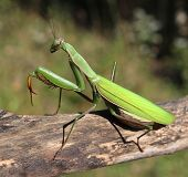 stock photo of pest control  - Praying Mantis insect in nature as a symbol of green natural extermintion and pest control with a predator that hunts and eats other insects as an icon of entomology biology education - JPG
