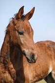 image of fillies  - Nice brown filly looking in front of blue natural background - JPG