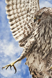 picture of crip  - Extreme closeup of a hawk in flight hunting for prey - JPG