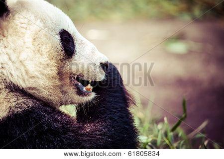 Giand Panda Bear Eating Bamboo