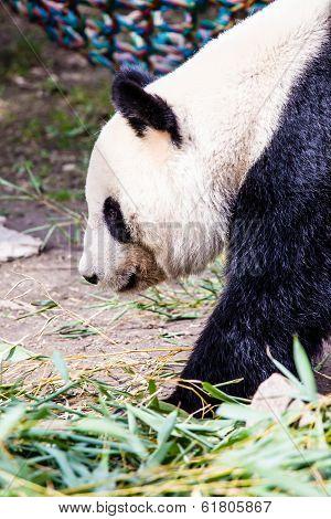 Giand Panda Bear Walking