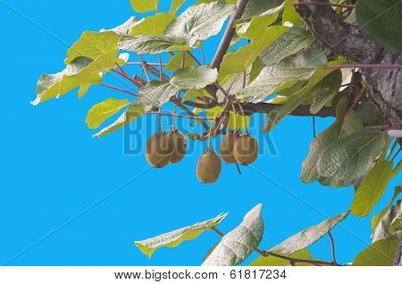 A bunch of kiwis ripening, isolated on blue