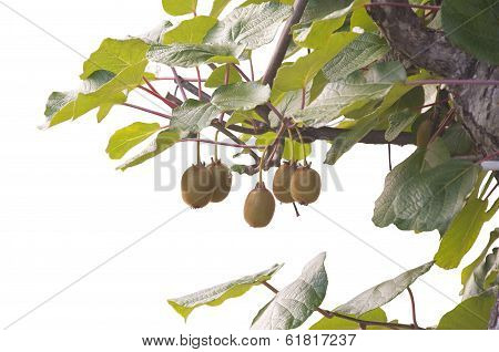 A bunch of kiwis ripening, isolated on white