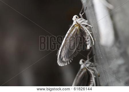 Bird-cherry Ermine (Yponomeuta evonymella)