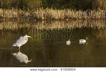 Great Blue Heron & Mallards