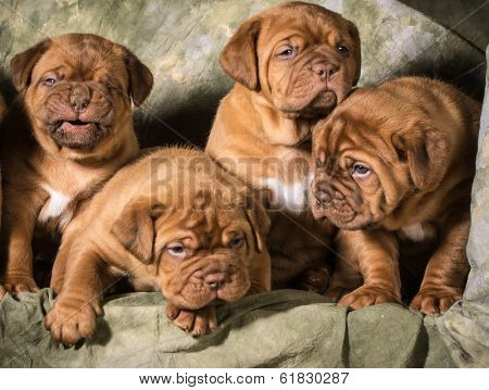 litter of dogue de bordeaux puppies on green background