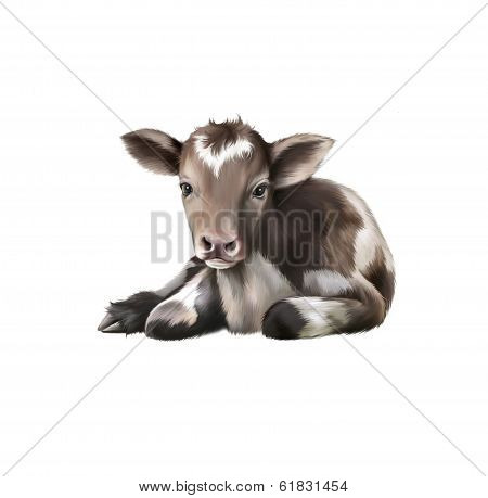 Newborn Calf, black and white baby cow