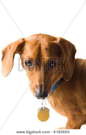 Miniature Dachshund Upper Body On White