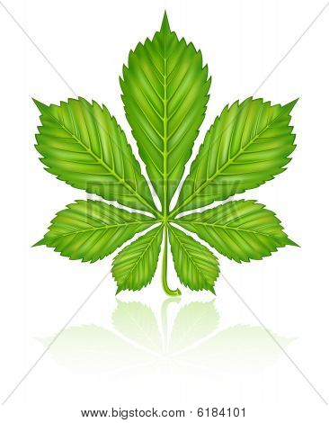 green leaf of chestnut tree isolated