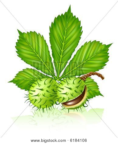 chestnut seed fruits with green leaf isolated
