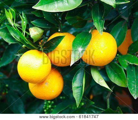Orange fruit on a tree