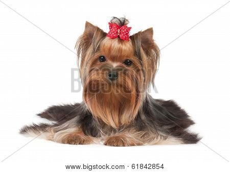 One Yorkshire Terrier