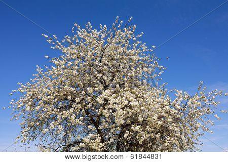 Big Fruit Tree Blooming In White Flowers.