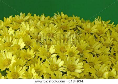 Yellow Chrysanthemum On Green Background
