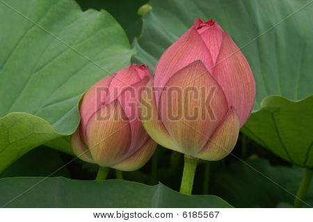 Two Lotus Shoots