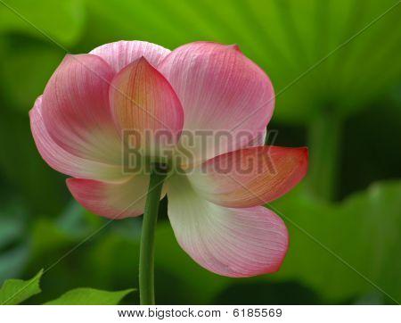 Flor de loto en luz suave 6167986