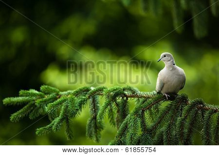 Collared dove, (Streptopelia decaocto) on a branch