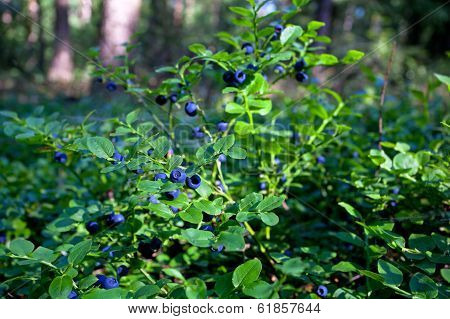 Wild Bush Of Blueberry With Fruits In Sunny Forest
