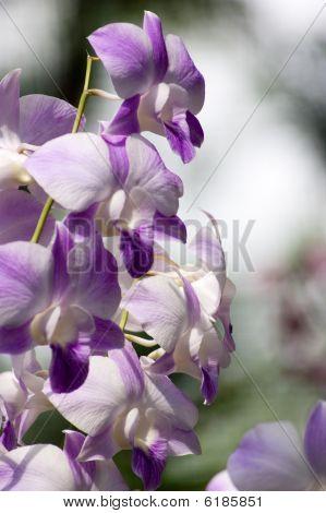 Mariko Saum Orchid