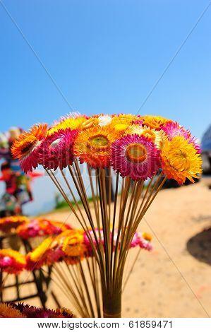 Strawflower At Phuhin Rongkla