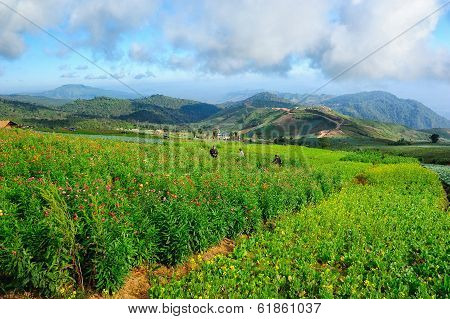 Strawflower Field