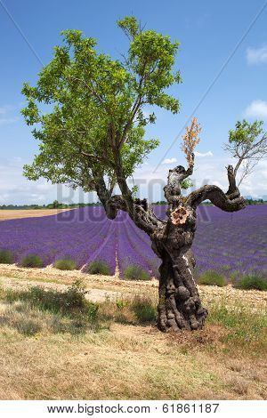 Tree In Front Of Lavender Field, Provence, France.