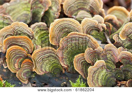 Lots Of Tinder Fungus