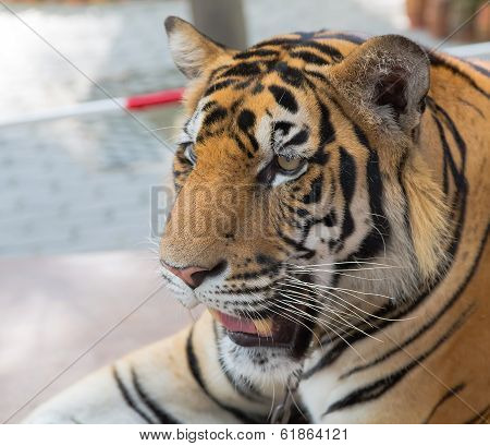 Young tiger in a zoo