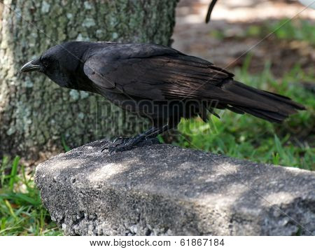 American Crow Leaning Forward