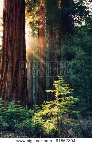 Early morning sunlight in the Sequoias of Mariposa Grove, Yosemite National Park, California, USA. Rays of sun highlight a young tree.
