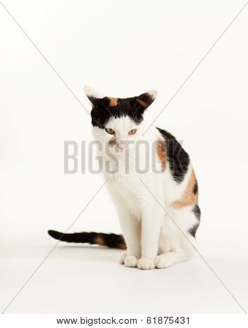 Calico Cat Sitting looking Down