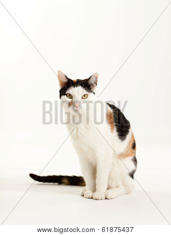 Calico Cat Sitting