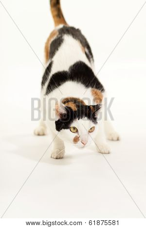 Calico Cat Crouching