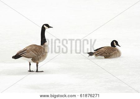 Canada Geese On A Frozen River - Ontario, Canada