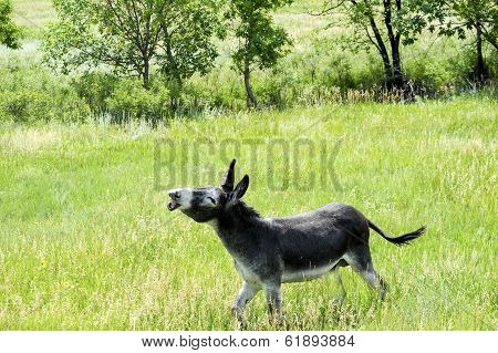 Wild Burro With A Funny Expression