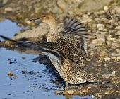 pic of pintail  - Northern Pintail - Anas acuta