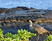 foto of endangered species  - The Nene is Hawaii - JPG