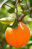 pic of orange-tree  - orange on tree - JPG