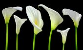 stock photo of white lily  - Beautiful white Calla lilies on black background - JPG