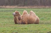 image of humping  - Two-humped camel is resting on the green grass