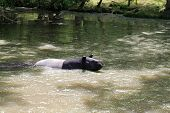 stock photo of tapir  - The Malayan tapir swimming in the water - JPG