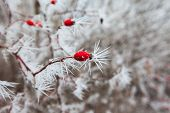 pic of wild-brier  - Frozen berries. Rosehip branches covered with hoarfrost.